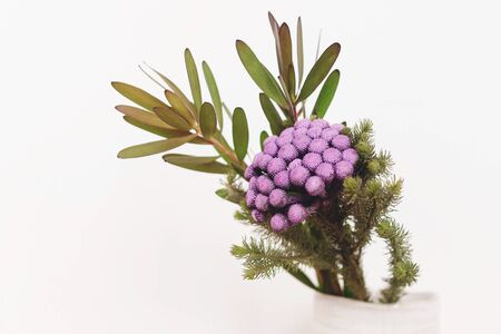 Brunia plant and green branches in ceramic vase on white background. Unusual creative flower. Home decor. Painted brunia flowers in purple color Stockfoto