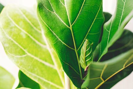Fresh new green leaves growing from Ficus Lyrata fig tree, close up. Beautiful fiddle leaf tree leaves on sunny background. Houseplant. Plants in modern interior room