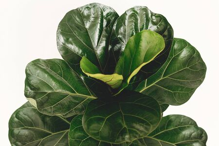 Ficus Lyrata. Beautiful fiddle leaf tree leaves on white background. Fresh new green leaves growing from fig tree, close up. Houseplant. Plants in modern interior room