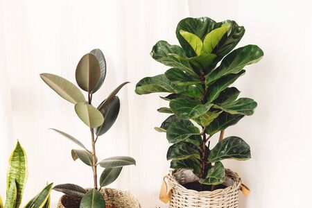 Ficus , Fiddle leaf fig tree, snake sansevieria plants in pots on sunny white background. Houseplants. Plants in modern interior room. Gardening at home
