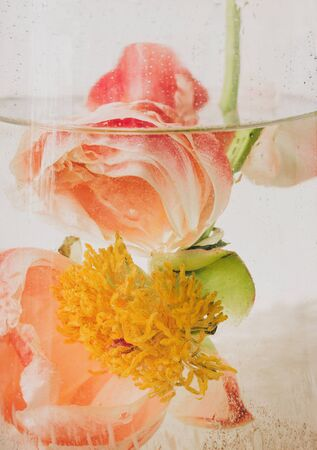 Peony under water in glass transparent vase closeup. Beautiful flower immersed in water and air drops on petals. Art and aesthetic, creative photo. Abstract pink and white background