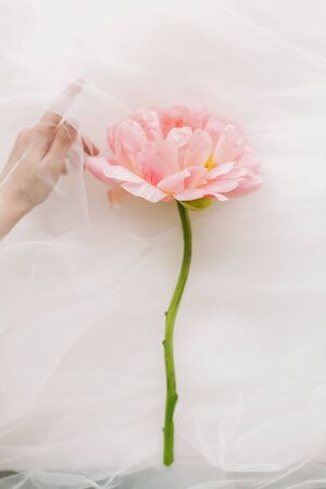 Big pink peony and woman hand behind veil on white background. Aesthetic soft image. Hand under tulle gently holding peony flower. Fragrance and treatment concept 免版税图像