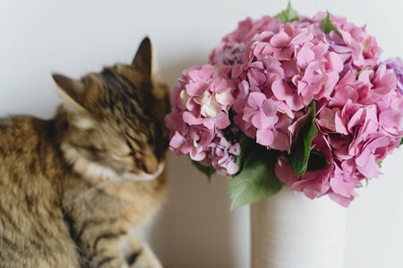 Beautiful hydrangea bouquet in vase and curios tabby cat smelling pink flowers on background of white wall. Pink and purple hydrangea flowers and blurred Maine Coon cat