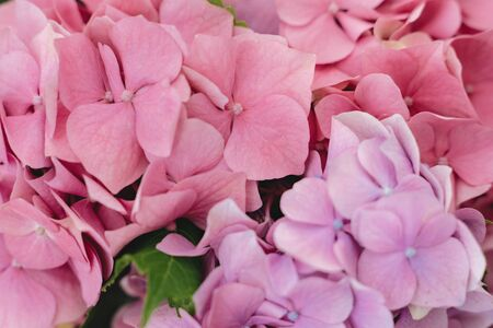 Hydrangea pink petals close up. Floral background. Beautiful pink and purple hydrangea flowers at home, closeup view on gentle petals. Happy mothers day or womens day
