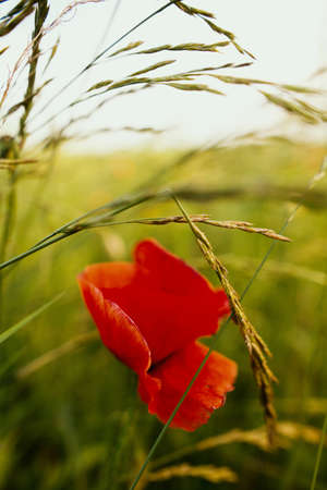 Red poppy and herbs in summer field in sunset light. Slow living, summer in countryside. Atmospheric tranquil moment 免版税图像
