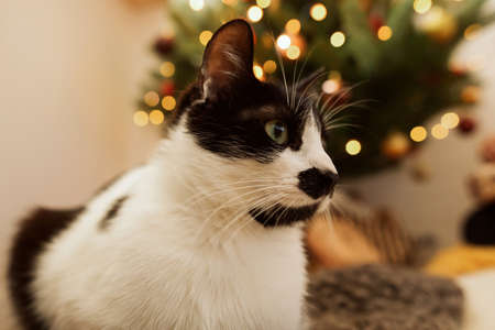 Cute cat sitting on background of christmas tree with golden lights and presents. Funny black and white kitty with green eyes relaxing in modern festive room. Pets and holidays