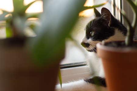 Cute cat sitting among green plants on windowsill and looking through window in sunset. Portrait of adorable black and white kitty cat with curious green eyes