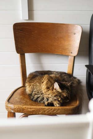 Cute tabby cat sleeping on wooden rustic chair in stylish room. Pets at home. Adorable Maine coon relaxing in owners bedroom