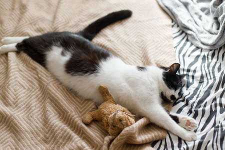 Cute cat sleeping on bed with his teddy toy, top view. Adorable black and white kitty relaxing and napping in bedroom. Cozy moment