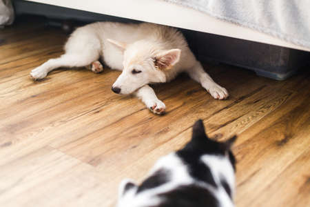 Adorable white fluffy puppy and cat sleeping together on floor in bedroom. Adoption concept. Cute puppy lying on floor under bed with friend cat in room