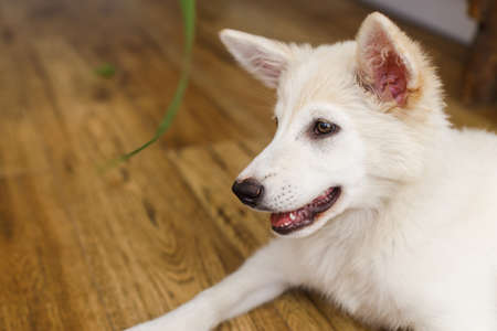 Cute  puppy sitting on floor with funny adorable look and looking at green grass stem in room. Playful adorable fluffy puppy. Pet friends at home Banco de Imagens