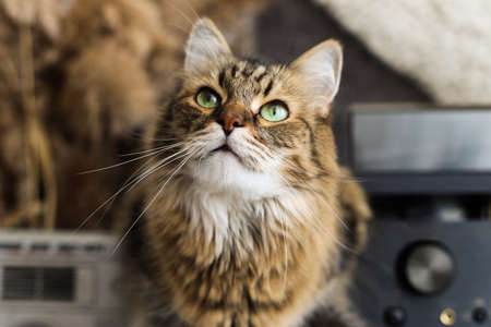Cute tabby cat with green eyes sitting on rustic table and looking up. Adorable Maine coon with curious look resting in rustic room. Domestic feline