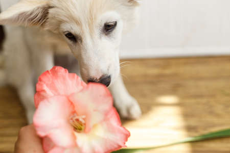 Cute fluffy white puppy smelling pink flower on wooden floor in room. Curious female puppy sniffing gladiolus flower. Copy space. Adoption concept