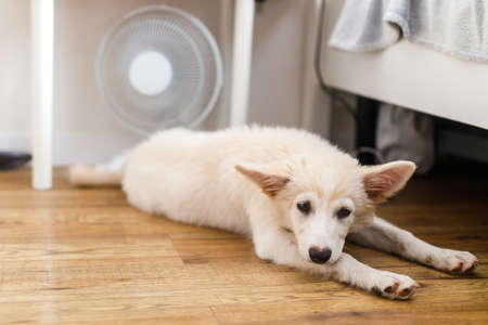 Cute puppy lying on floor under fan in hot summer room. Adorable white fluffy puppy suffering from heat, lying under air fan at home. Helping pets in summer Banco de Imagens