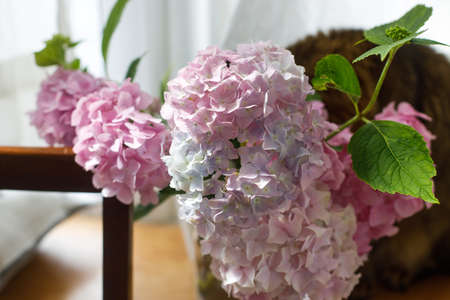 Beautiful pink and purple hydrangea flowers in sunny light on wooden rustic window sill. Summer tender blooming. Pastel petals in sunlight indoors
