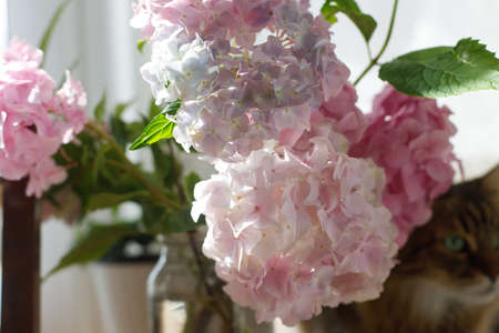Beautiful pink and purple hydrangea flowers in sunny light on wooden rustic window sill on background of curious tabby cat. Summer home momets. Maine coon and flowers