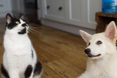 Cute cat and puppy sitting on floor with funny adorable look. Playful black and white cat and fluffy white puppy playing together. Pet friends at home