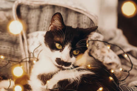 Cute cat resting in christmas festive lights bokeh on grey blanket at home. Cozy moody winter evening. Holidays and pets. Funny black and white kitten in christmas illumination