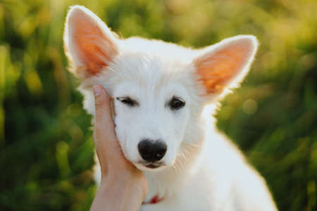 Woman hand caressing cute white puppy face in warm sunset light in summer meadow. Portrait of adorable fluffy puppy with sweet eyes. Adoption concept