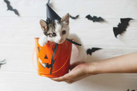 Happy Halloween. Cute kitten in witch hat sitting in halloween trick or treat bucket on white background with black bats. Hand holding jack o' lantern pumpkin pail with adorable kitty.