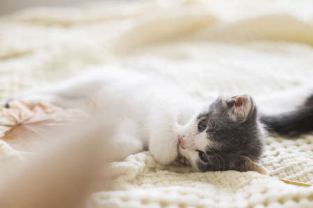 Adorable kitten grooming in autumn leaves on soft blanket. Autumn cozy mood. Cute white and grey kitty cleaning paw and relaxing with fall decorations on bed in room Stock Photo
