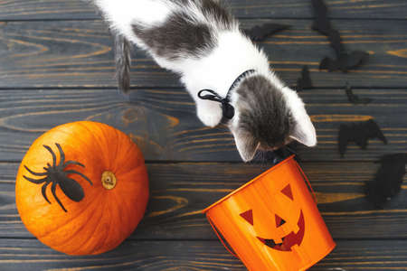 Trick or treat! Cute kitten playing at Jack o lantern candy bucket, pumpkin and bats on dark background. Kitten and holiday decorations, celebrating halloween at home Imagens