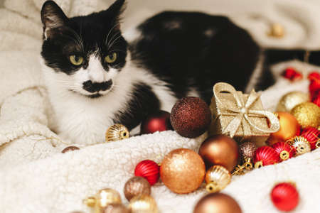 Adorable cat sitting under christmas tree on soft blanket with red and gold baubles. Cute black and white furry kitty relaxing in festive room. Pet and winter holidays, home moments