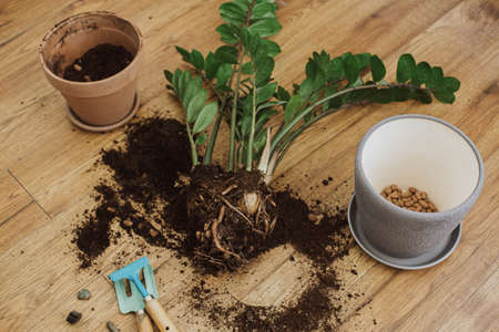 Repotting zamioculcas plant in modern pot. ZZ plant roots, leaves and pot with drainage, garden tools, soil on wooden floor. Process of planting new house plant