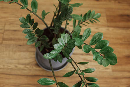 Repotting zamioculcas plant in modern pot. ZZ plant, leaves in new pot on wooden floor. Process of planting new house plant