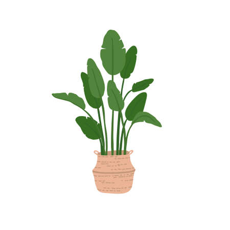 Banana tree in woven belly basket flat vector illustration. Exotic indoor plant isolated on white background. Large home flower for decor and planting of greenery. Stock Illustratie