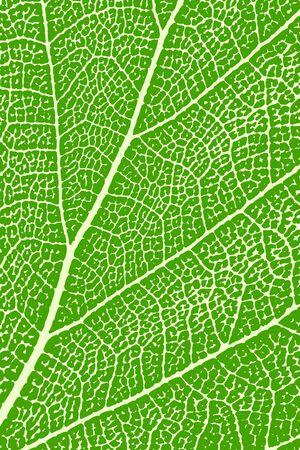 macro leaf: Green leaf close up. Leaf macro. Background, vector illustration
