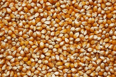close up food: Corn close up. Corn background. Yellow food background. Corn texture