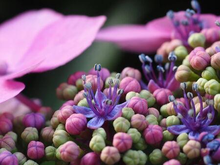 Hydrangea pink detail photo