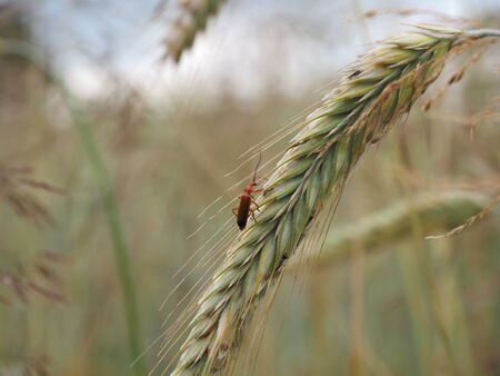 wood agricultural: Insects in the grain Stock Photo