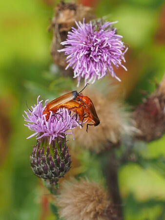 Thistles with insects photo