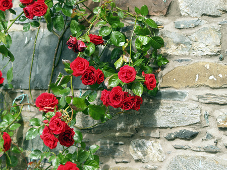 Wall with roses in Scotland photo