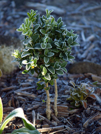 boxwood: First Frost on a boxwood