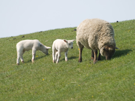 yachtsman: Sheep graze on the dike