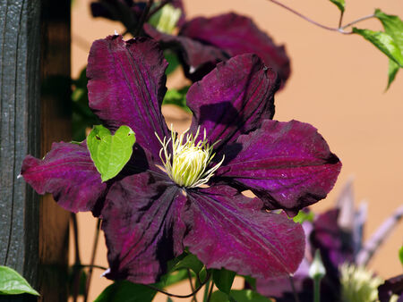 twining: twining purple Clematis
