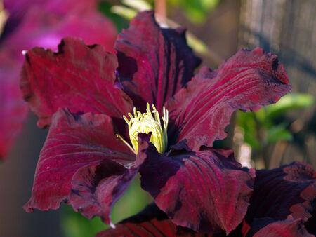 rambling: purple climatis kletterpflanze