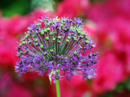 dill: blue dill garden plant