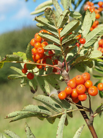aucuparia: Mountain ash, Sorbus aucuparia Stock Photo