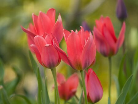 pink columbine: red tulip against a bright green