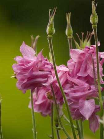 seed bed: pink columbine