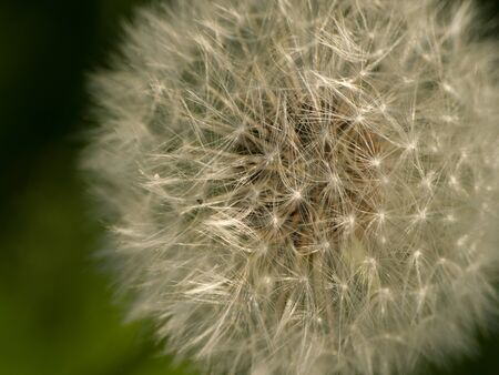 buttercup: Dandelion - Buttercup
