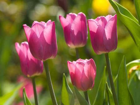 Purple tulips photo