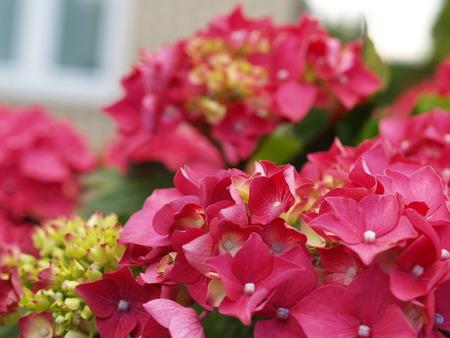 macro of a hydrangea photo
