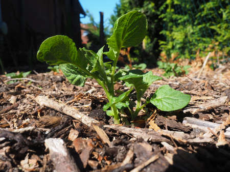 seed bed: Potato plant in the home garden