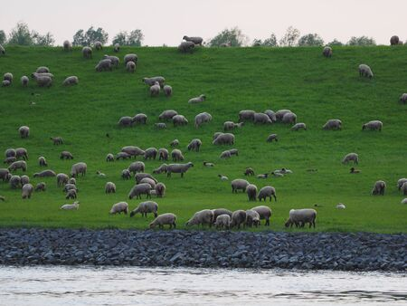 dike: Sheep on the dike