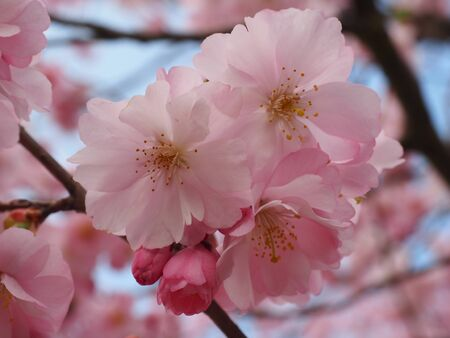 blomming: japan cherry tree